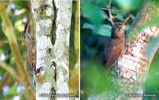 amazonian-barred_woodcreeper