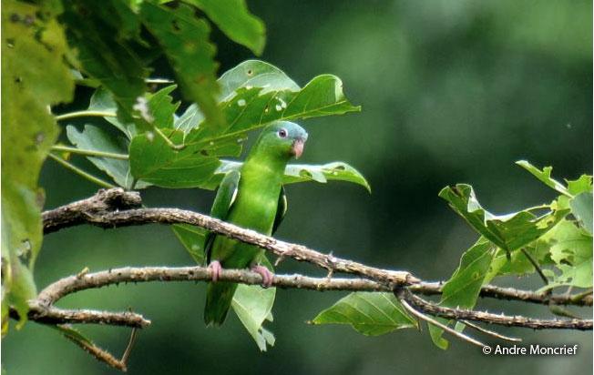 amazonian_parrotlet
