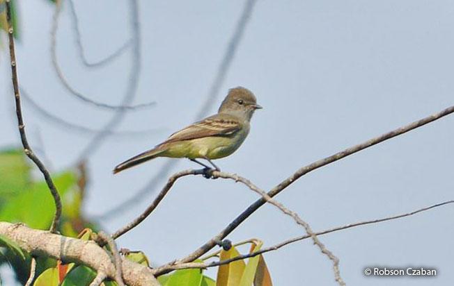 amazonian_scrub_flycatcher