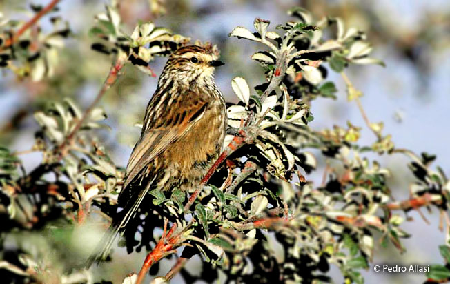 andean_tit-spinetail