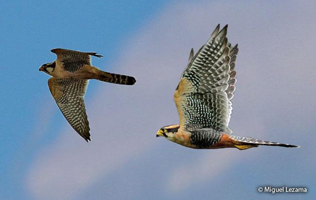 aplomado-falcon