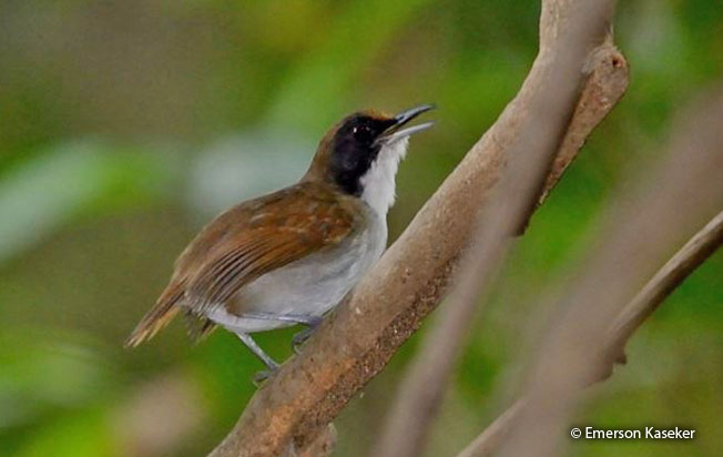 ash-breasted_antbird
