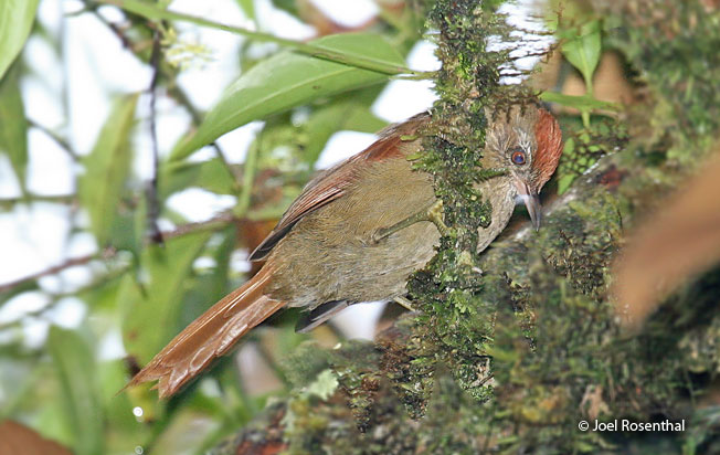 ash-browed_spinetail