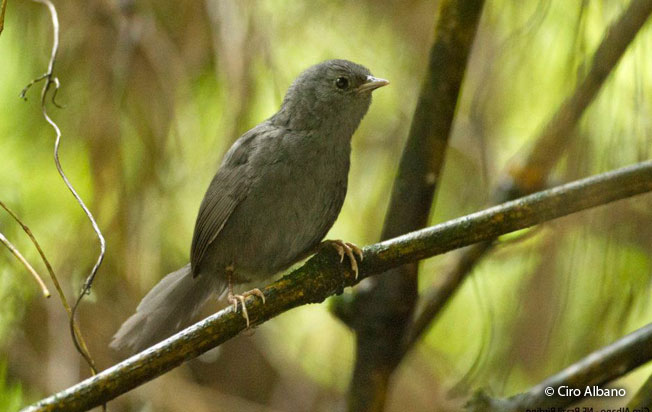 ash-colored_tapaculo