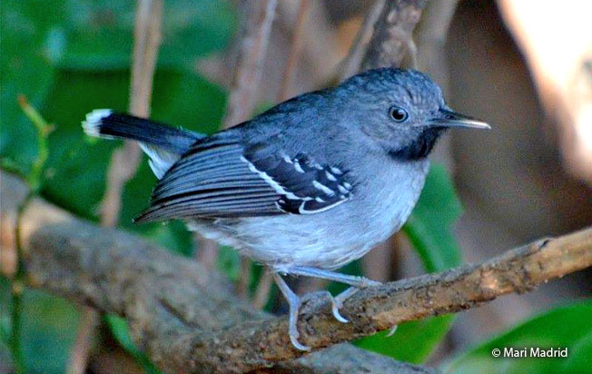 band-tailed_antbird