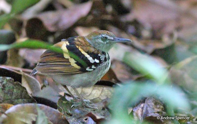 banded_antbird