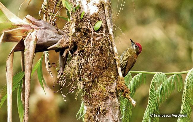 bar-bellied_woodpecker