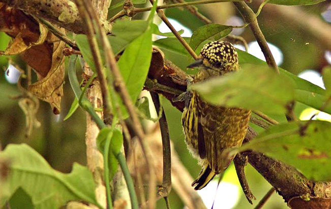 bar-breasted_piculet
