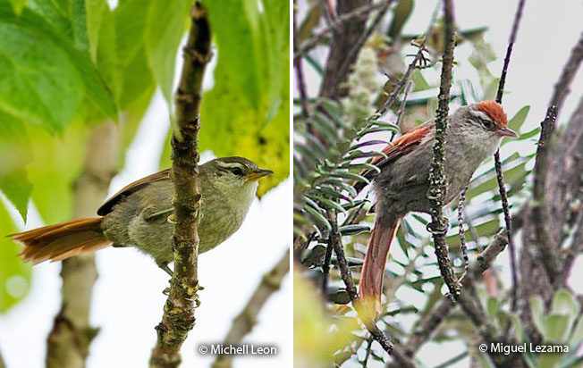 baron's_spinetail