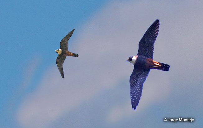 bat-falcon