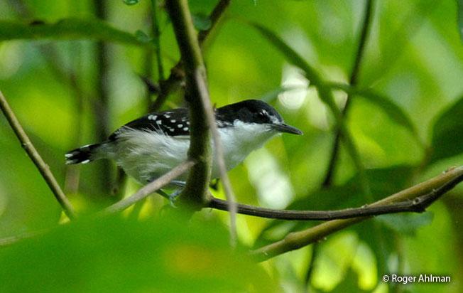 black-and-white_antbird