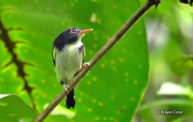 black-and-white_tody-flycatcher