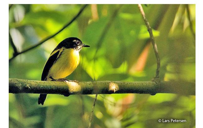 black-backed_tody-flycatcher