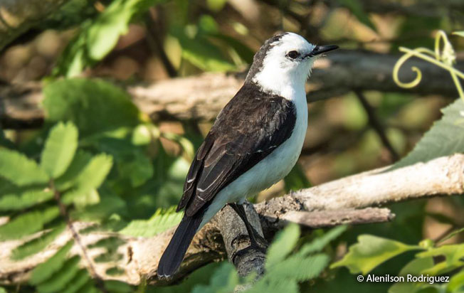 black-backed_water-tyrant