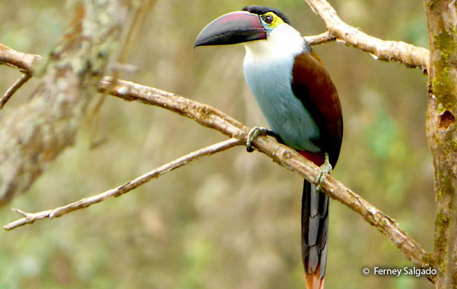 black-billed_mountain-toucan