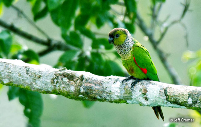 black-capped-parakeet
