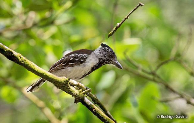 black-crested-antshrike