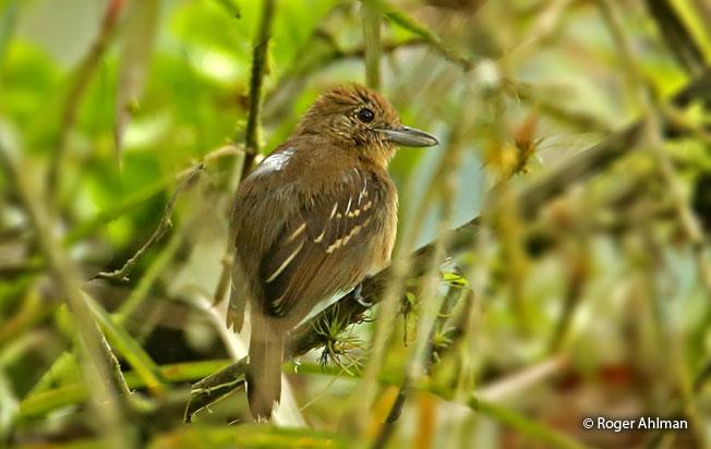black-crowned_antshrike