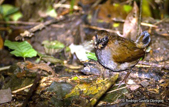 black-faced-antthrush