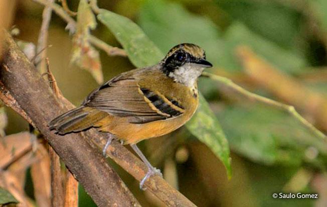 black-faced_antbird
