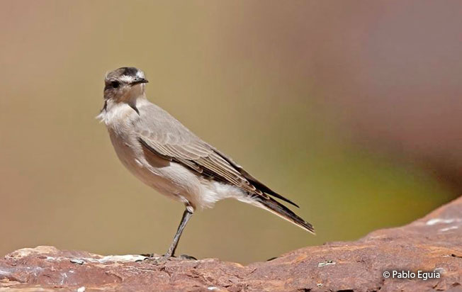 black-fronted_ground-tyrant