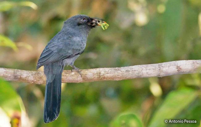 black-fronted_nunbird
