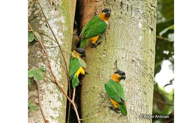 black-headed_parrot