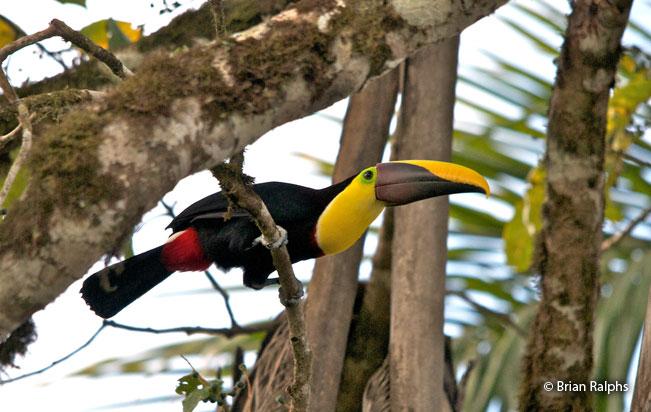 black-mandibled_toucan