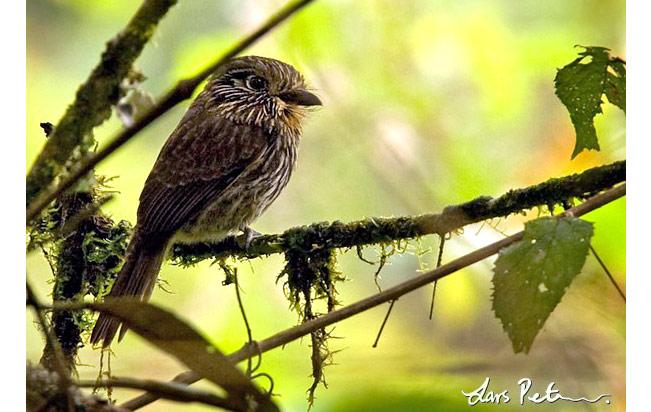 black-streaked_puffbird