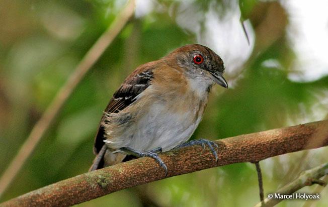 black-tailed_antbird