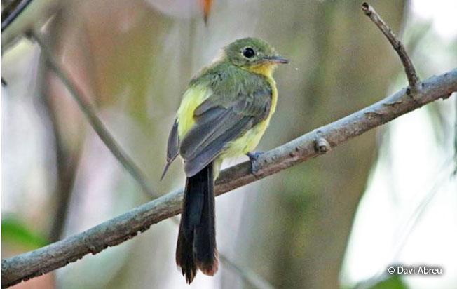 black-tailed_flycatcher