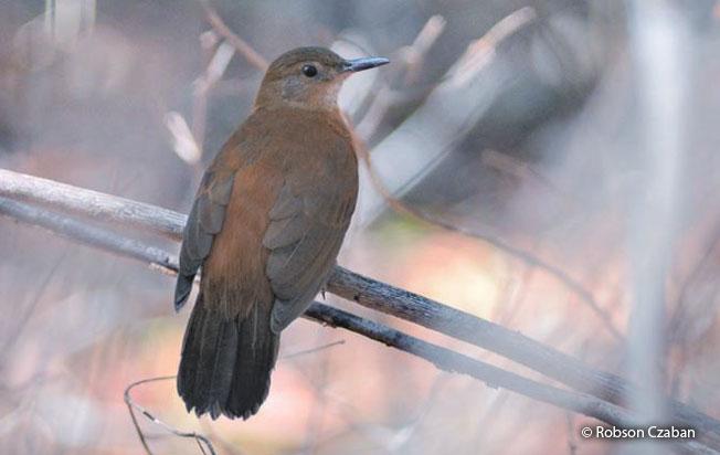 black-tailed_leaftosser