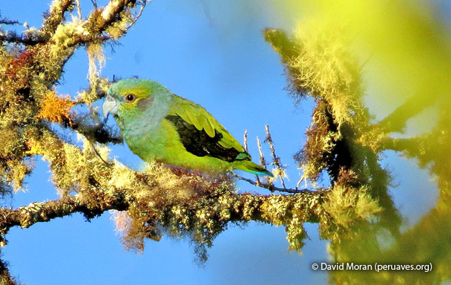 black-winged_parrot
