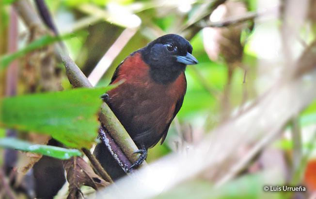 black_bushbird