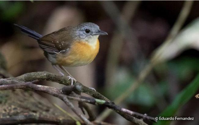 black_throated_antbird