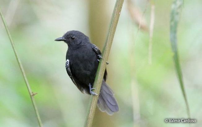 blackish_antbird