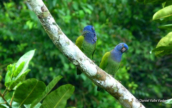 blue-headed-parrots