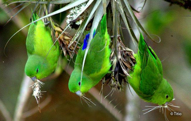blue-winged_parrotlet