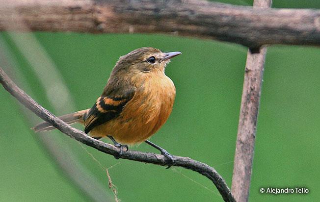 bran-colored_flycatcher