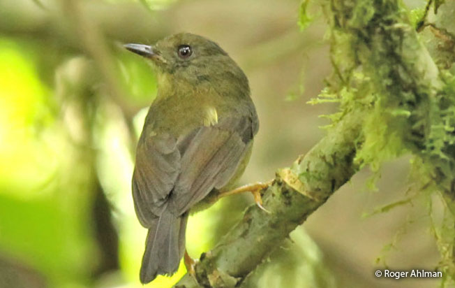 bronze-olive_pygmy-tyrant