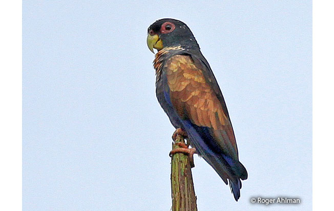 bronze-winged-parrot