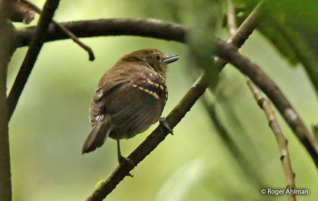 brown-backed_antbird