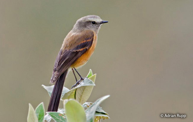 brown-backed_chat-tyrant