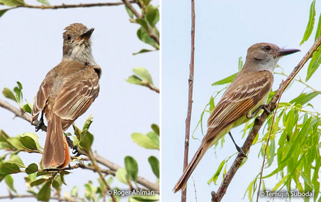 brown-crested_flycatcher