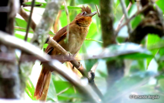 brown-rumped_foliage-gleaner