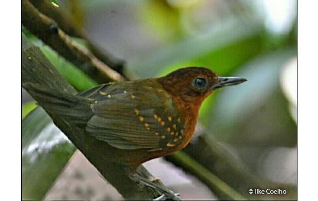 brownish-headed_antbird