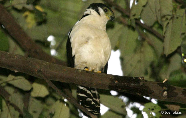 buckley's_forest-falcon