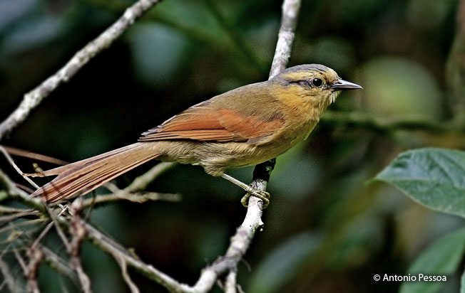 buff-fronted_foliage-gleaner