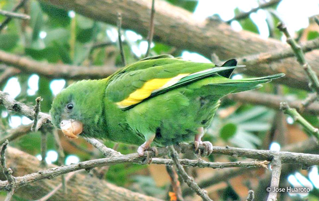 canary-winged-parakeet