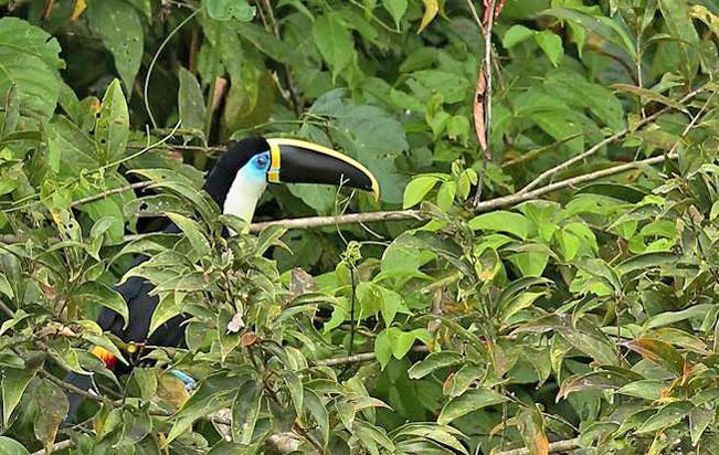channel-billed_toucan